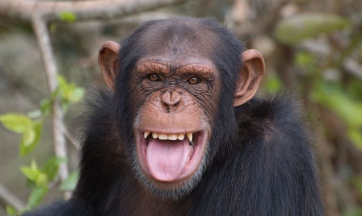 ¿De qué se ríen los monos bonobos?